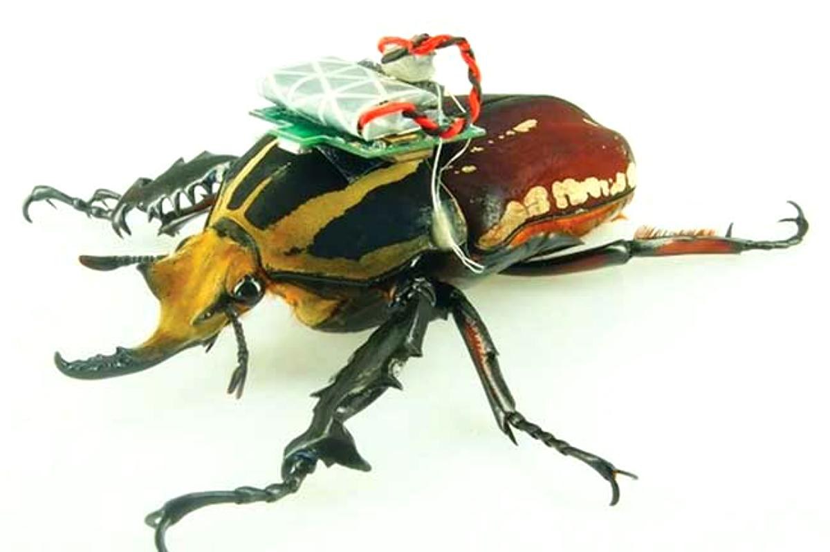 Scarabée avec un dispositif robotique contrôlant ses mouvements